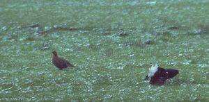 coq de Tétras lyre paradant autour d'une femelle