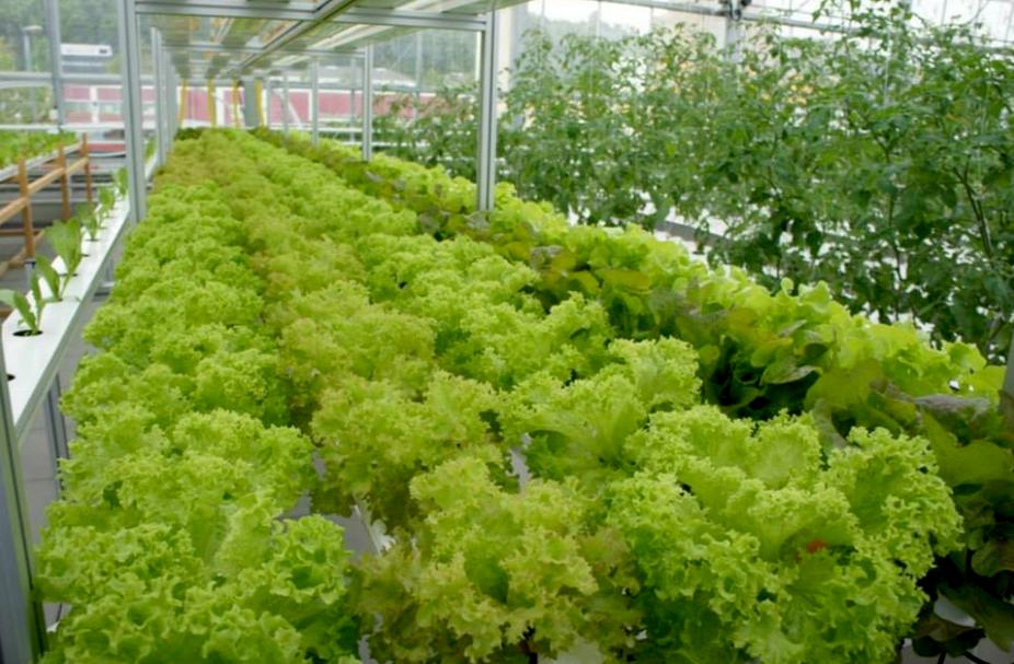 Culture de légumes dans l'une des fermes urbaines gérées par Urban Farmers. Compte Facebook Urban Farmers